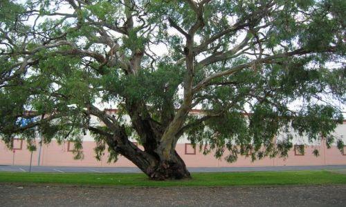 Zdjęcie AUSTRALIA / Central Nsw / Mudgee / Rozlozyste drzewo na srodku ulicy