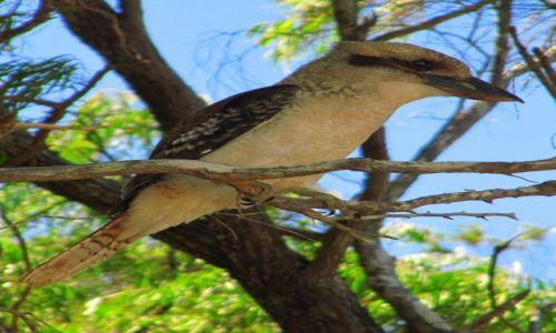 Zdjęcie AUSTRALIA / Walpole / nad jeziorem / Kookaburra