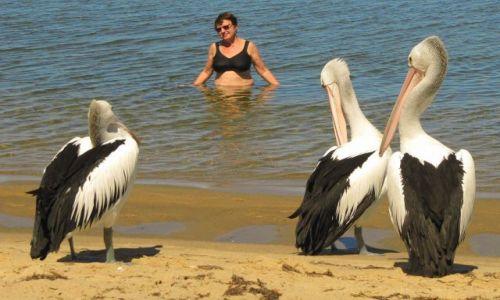 Zdjecie AUSTRALIA / wallpole / zatoka / Przyjazne pelikany