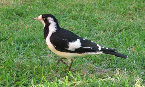 Zdjęcie AUSTRALIA / Perth / ulica / z serii ptaki Australii