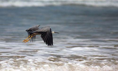 Zdjecie AUSTRALIA / Queensland / Fraser Island / czapla szara (chyba tak sie nazywa?)