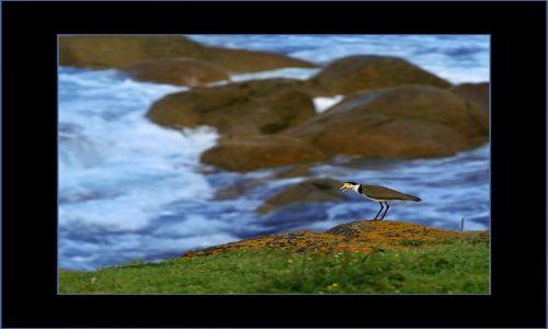 Zdjecie AUSTRALIA / South Australia / Victor Harbour / czajka platkolica