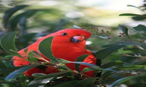 Zdjecie AUSTRALIA / Wiktoria / Pennyroyal Valley / King Parrot