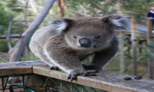 Zdjęcie AUSTRALIA / Wiktoria / Phillip Island / Koala