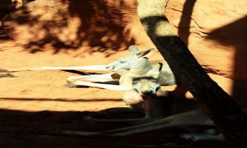 AUSTRALIA / Nowa Południowa Walia / Sydney / Kangury: musisz to zobaczyć!!! :)