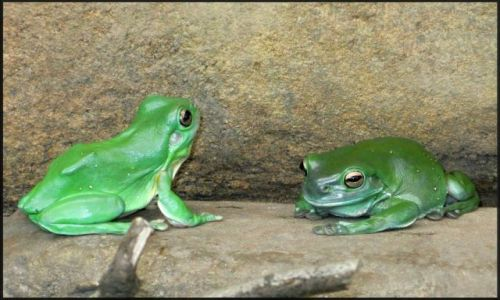 Zdjecie AUSTRALIA / Nowa Południowa Walia / Sydney, Wildlife / Żabki