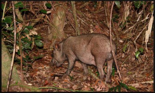 Zdjecie AUSTRALIA / queensland / okolice Cairns,  / Dzik; spotkanie w Dżungli