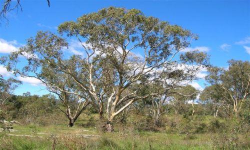 Zdjecie AUSTRALIA / Wsch. Australia / Australian Alps / Takie duze drzewo eukaliptusa