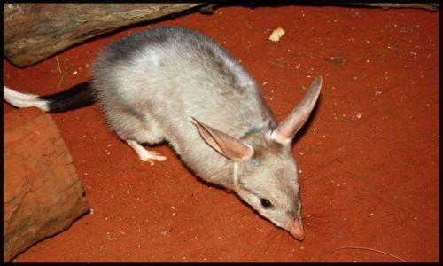 Zdjecie AUSTRALIA / Nowa Południowa Walia / Sydney, Wildlife / Bilby