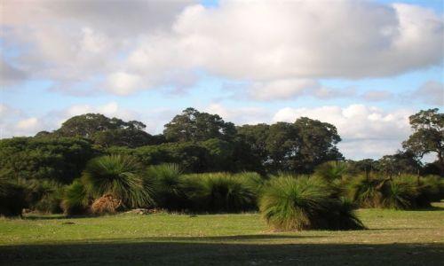 AUSTRALIA / Zach.Aystralia / Dunsborough / Drzewa trawiaste-grass tree