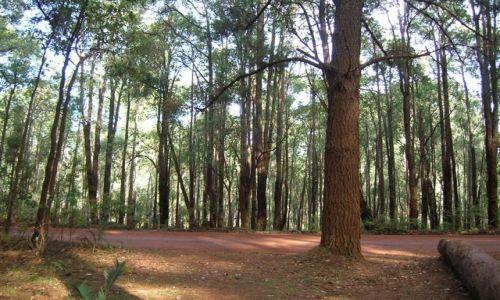 Zdjecie AUSTRALIA / Zach.Australia / Dwellingup / Las Jarra-czyli rodzaj eukaliptusow