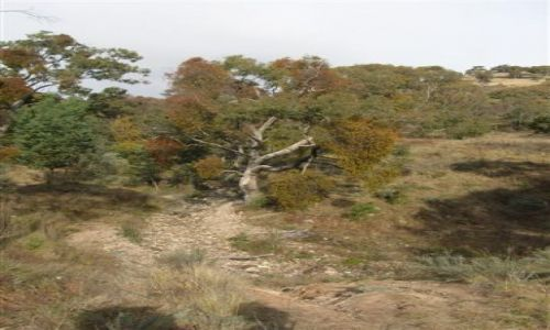 Zdjecie AUSTRALIA / ACT / Australian Alps / Jemiola zjada eukaliptus