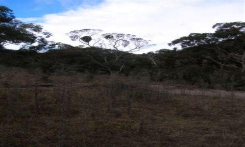 Zdjecie AUSTRALIA / ACT / Australian Alps / Eukaliptus zjedzony przez jemiole..