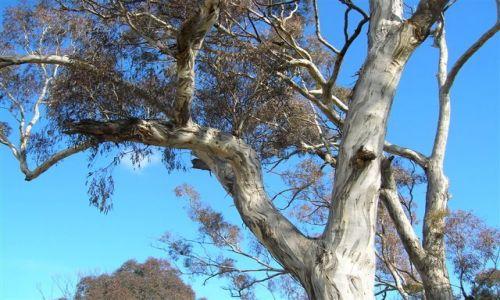 Zdjecie AUSTRALIA / ACT / Ganghalin / Kolory drzew