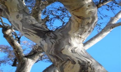 Zdjecie AUSTRALIA / ACT / Ganghalin / Kolory eukaliptusa