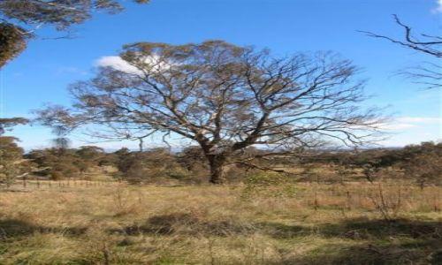 Zdjecie AUSTRALIA / ACT / Ganghalin Reserve.. / Eukaliptus prawie zjedzony przez pasozyta..