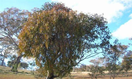 Zdjecie AUSTRALIA / ACT / Rezerwat przyrody / Pozeracz drzew-mistletoe