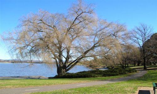 Zdjecie AUSTRALIA / ACT / Commenwealth park / Zimowe drzewo
