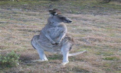 Zdjęcie AUSTRALIA / NSW / Australian Alps / Na stojaco..kangurek