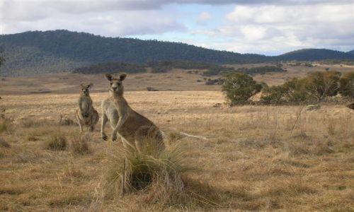 Zdjecie AUSTRALIA / ACT / Yankee Hut / Przywodca stada
