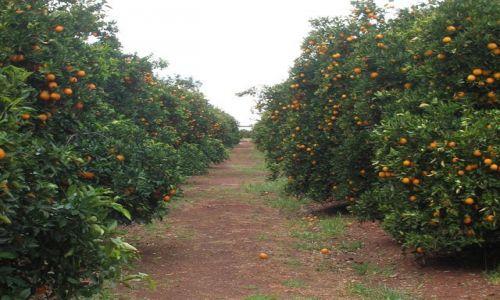 Zdjecie AUSTRALIA / Interia, NSW / Griffith / Pomaranczowe sady..