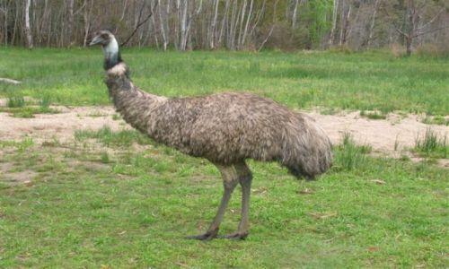 Zdjecie AUSTRALIA / Wschodnia Austr. / Nat. park / Spojrzenie Emu