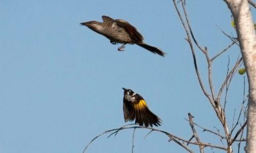 Zdjecie AUSTRALIA / Poludniowa Australia / Adelaide / Bird attack
