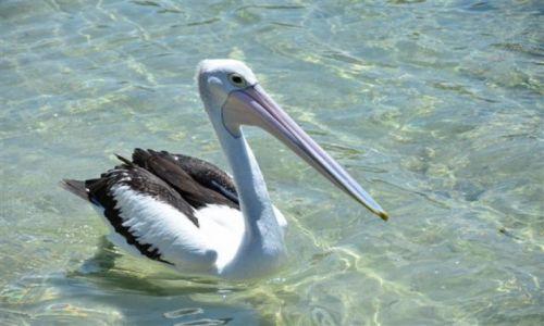 Zdjęcie AUSTRALIA / NSW / South Coast / Pelican nad oceanem