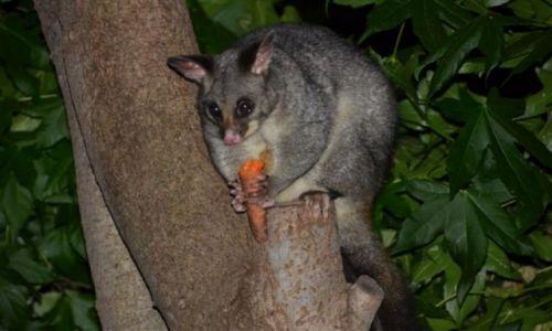 Zdjęcie AUSTRALIA / ACT / Rezerwat przyrody / Posum, nocne zwierzatko