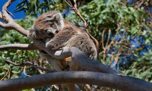 Zdjecie AUSTRALIA / Victoria  / Otway  / Nie budzic!