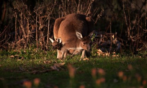 Zdjecie AUSTRALIA / South Australia / Mt Lofty / ...