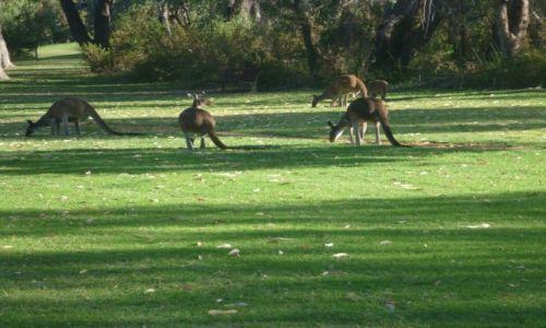 Zdjecie AUSTRALIA / Wschodnia Australia / Perth / Kangury