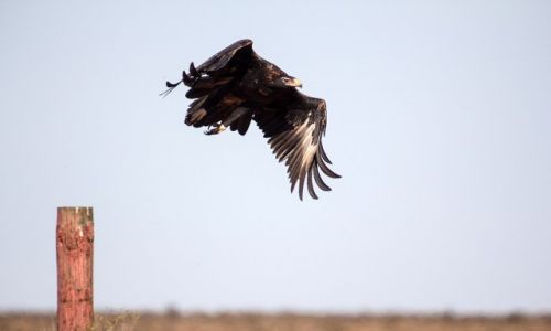 Zdjęcie AUSTRALIA / South Australia / The Great Victoria Desert / wedge tailed eagle
