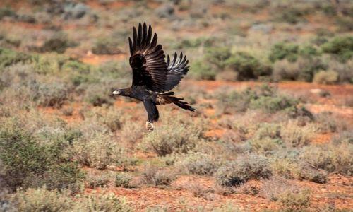 Zdjecie AUSTRALIA / South Australia / The Geat Victoria Desert / wedge tailed eagle