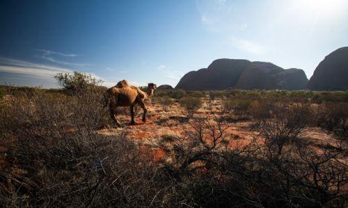Zdjecie AUSTRALIA / Red Centre / Kata Tjuta / dziki wielblad