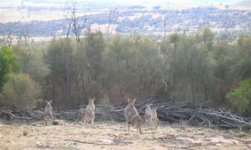 Zdjecie AUSTRALIA / ACT / Mt. Stromlo / Zakamuflowani..