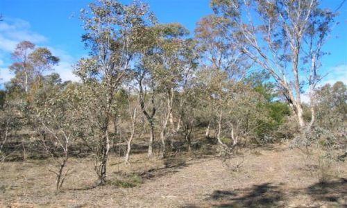 Zdjecie AUSTRALIA / Mt. Stromlo / ACT / Wiecznie zielone eukaliptusy..