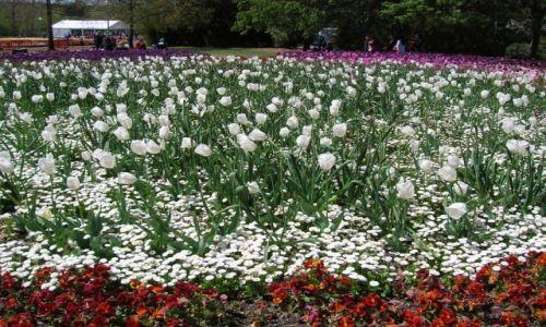 Zdjęcie AUSTRALIA / ACT / W parkach / Tulipany..