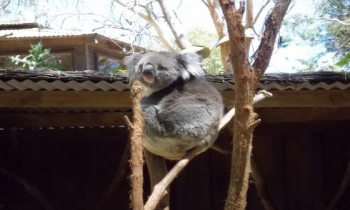 Zdjecie AUSTRALIA / Victoria / Wildlife Park Ballarat / Koala