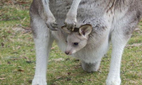 Zdjecie AUSTRALIA / Canberra / okolice Canberra / Kangurzątko