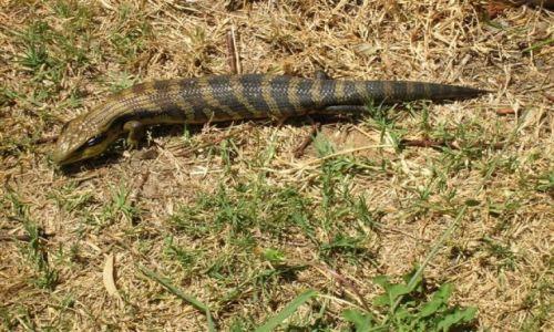 Zdjęcie AUSTRALIA / NSW / Alpy / Blue tongue lizard