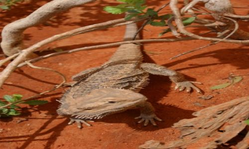 AUSTRALIA / Northern Territory / Kata Tjuta / Jaszczur