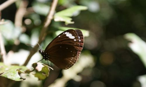 AUSTRALIA / Queensland / Hillsbourough National Park / butterfly