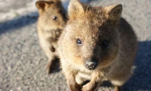 AUSTRALIA / Zachodnia Australia / Rottnest Island / Quokka