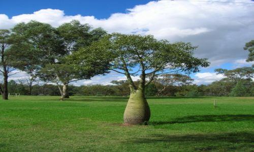 Zdjecie AUSTRALIA / Polnoc  wschodnia / Gilgandra / Butelkowe drzewo.