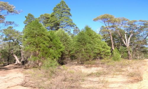 Zdjecie AUSTRALIA / Outback wschodni / Pilliga Scrub / Pilliga forest