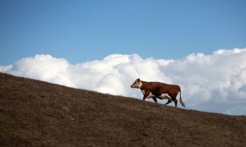 Zdjecie AUSTRALIA / Poludniowa Australia / Polwysep Fleurieu / Wszystkie krowy ida do nieba