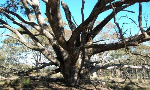 Zdjecie AUSTRALIA / NSW / Tinderry nat. Park / Czarodziejskie drzewo