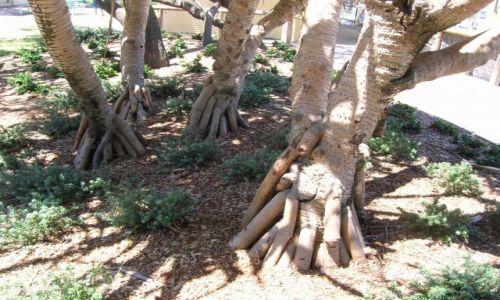 Zdjecie AUSTRALIA / Sunshine Coast / Nad oceanem / Dziwne korzenie