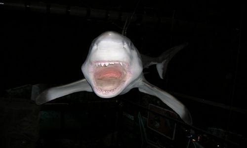 Zdjecie AUSTRALIA / Sunshine Coast / Maloolaba / Shark